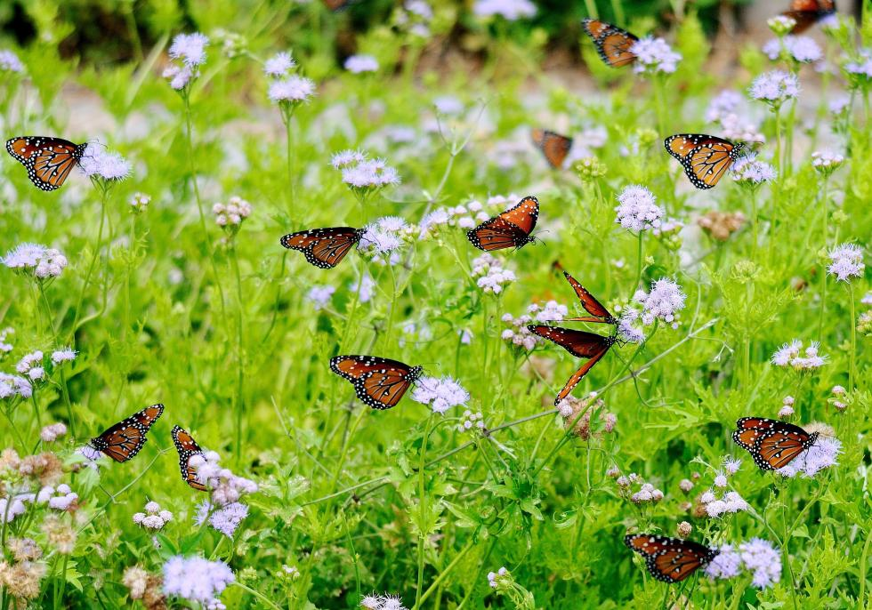These Queen butterflies relish the nectar provided by the Palm-leaf or Gregg's mistflower. This mistflower as a long blooming season and is an outstanding perennial in zones 7-10. (MCT)